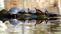 140428_1922_SX50 Painted Turtles at Rockefeller Preserve