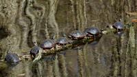 140428_1919_SX50 Painted Turtles at Rockefeller Preserve