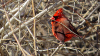 150312_2631_SX50 Cardinal at Croton Point