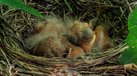Ten Days with the Newborn Robins