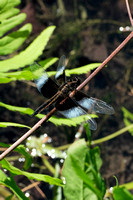 160614_1668_NX1 A Dragonfly on Bechtel Lake at Westmoreland Sanctuary
