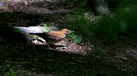 160614_1659_NX1 A Wood Thrush at Westmoreland Sanctuary