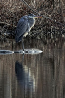 180327_1681_EOS M5 A Great Blue Heron on Swan Lake at Rockefeller Preserve
