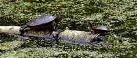 170921_1328_EOS M5 A Mother Painted Turtle and Hatchling at Rockefeller Preserve
