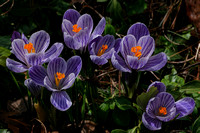 170403_2916_NX1 Crocuses