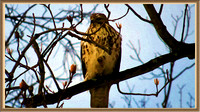 130117_0570_SX50_IsItArt Red Tail Hawk Waking in the Morning Light